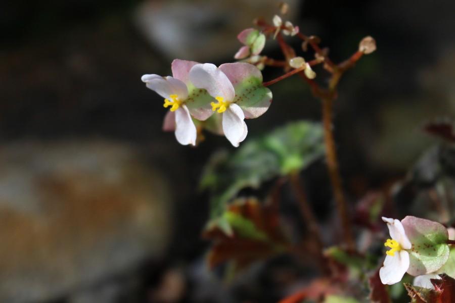 Begoniabeatricehaddrell019-041-76 (1)